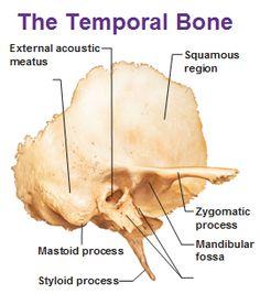 heaad of mandibular fossa of temporal bone - Google Search