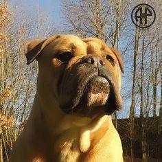 Mans Best Friend, Best Friends, Continental Bulldog, Olde English Bulldogge, Bulldog Breeds, Eternal Flame, English Bulldogs, Old English, Bullies