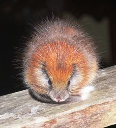 Thered-crested tree rat(Santamartamys rufodorsalis) is a unique monotypic genus ofrodentin the familyEchimyidae.It was only known fro...