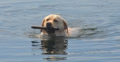 Yellow Labrador Photo Greeting Card Dog Photography Yellow Labrador Swimming with Big Stick in Blue Water Surf Handcrafted Greeting Card
