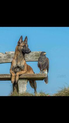 hawk bird  german shepherd dog