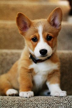Cute and Pretty little Corgie pup sitting on stairs