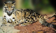 Large cats are generally used to describe wild and big cats such as tiger, lion…