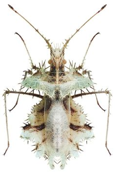 Beetle Insect, Insect Art, Beetle Bug, Cool Insects, Bugs And Insects, Mantis Religiosa, Falter, Cool Bugs, Bizarre