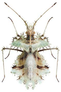 Phyllomorpha laciniata.jpg