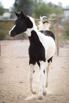 half Arabian and half paint horse Most Beautiful Horses, Pretty Horses, Horse Love, Animals Beautiful, Cute Animals, Baby Animals, Horse Photos, Horse Pictures, Zebras