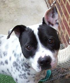 MACK is a beautiful 2 year old Dalmatian mix, full of life and energy. He loves to run and play. He would do best in a home with a big yard. Mack cannot share his home with other animals and the children should be older. He loves affection and is...
