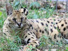 Big Cat Rescue - Serval - Santino