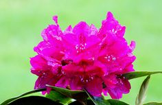 Rododendron #Rododendron