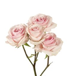 White ohara garden rose hint of blush in center all year pink spray roses a smaller headed rose which would be best for your hair flowers rather than a large single rose perhaps a small cluster of these with mightylinksfo