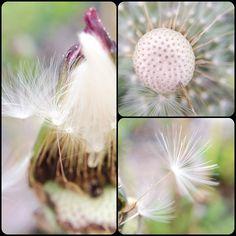 Pusteblume #Pusteblume #blowball #collage #nofilter #macro #olloclip #nature #spring