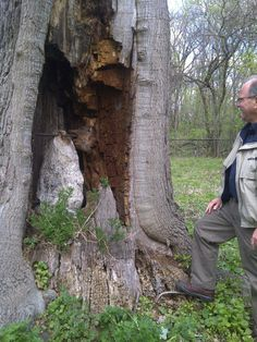 An ancient #tree tells the tale of a Davey crew's work long, long ago. #CoolTrees #Trees #TreePhotos #HenryFord