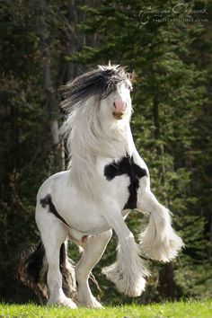 Beautiful horse rearing up. Looks like Gypsy Vanner, Irish Cob. Simply stunning beauty!