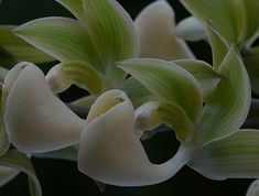 The Orchid Column: December flowering orchids