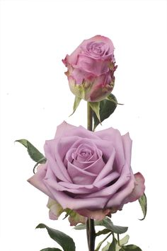 Long stem Roses  Cool water is light lavender color