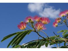 Arbre à soie de 50/60 cm pot 1L - Albizia Julibrissin : acheter en ligne sur Jardins Du Monde. Pépinière, jardinerie en ligne. Livraison partout en Europe