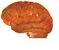 Picture of Brain