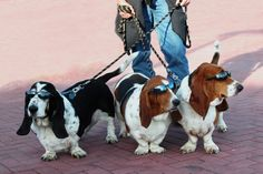 Basset Hounds in sunglasses!! Hilarious!! Wonder if my bassies would wear them..