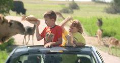 Camel Has Developed a Taste For Humans
