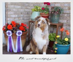 The real Halo, Say No More of Imagineer RNX, CGC Australian Shepherds, Aussies, Best Dogs, Doggies, Halo, Animaux, Red Tri Australian Shepherd, Pet Dogs, Lap Dogs
