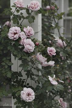 En av mina rosfavoriter i Myrbergs Trädgård är Gerbe Rose!