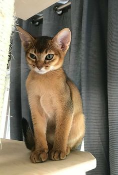 7 Cat breeds that look like wild animals. - Singapura Cat - ideas of Singapura Cat - 7 Cat breeds that look like wild animals. The post 7 Cat breeds that look like wild animals. appeared first on Cat Gig. 7 Cat breeds that look like wild animals. Animals And Pets, Baby Animals, Funny Animals, Cute Animals, Wild Animals, Funny Cats, Animals Images, Pretty Cats, Beautiful Cats