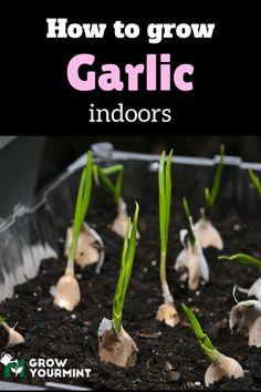 How to grow garlic indoors #gardens#organic#growyourmint.com
