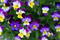 "Who cannot love the simply beauty of Violas??  AKA ""Johnny Jump-ups"". Love them!"