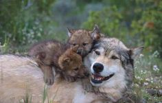 A tragedy is about to unfold in Wyoming. Wolf killers brag that they can use electronic wolf calls of wolf pups in distress to call Yellowstones 75 remaining wolves from the park. There is no longer a buffer zone to protect them. Mange was  used to kill Yellowstones wolves in the 1920's. A wolf would be trapped then set free to return to his/her family. A wolf with mange can't hunt well do to irritation, and looses fur , so he/she will freeze in the winter.