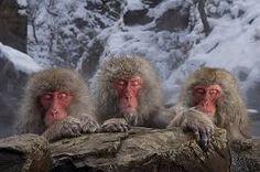 Resultado de imagen de anuncio de tres simios en unas aguas termales