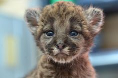 A team of biologists discovered an abandoned Florida Panther kitten while conducting research in the Florida Panther National Wildlife Refuge. The kitten is continuing his recover at Tampa's Lowry Park Zoo. See video and read more: http://www.zooborns.com/zooborns/2014/02/panther-tampas-lowry-park-zoo.html#more
