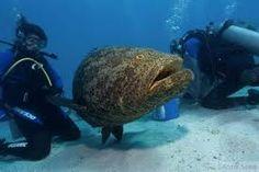 Resultado de imagem para mero peixe Merida, Turtle, Animals, Pisces, Turtles, Animales, Animaux, Tortoise, Animal