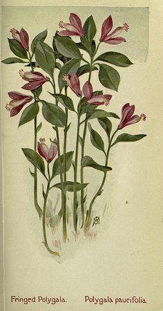 Fringed Polygala. Polygala paucifolia.