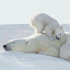 Baby Polar Bears, Cute Polar Bear, Cute Bears, Cute Baby Animals, Animals And Pets, Funny Animals, Wild Animals, Amor Animal, Mundo Animal