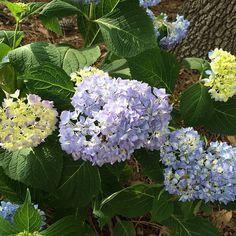 Hydrangeas - putting pine straw around them helps turn them blue.