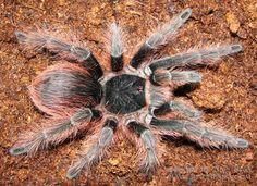 Nhandu carapoensis (Brazilian Red)
