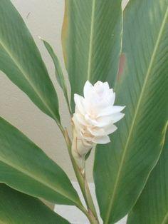 White Ginger Lilly