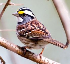 White Throated Sparow.  Three have made a little home in my backyard brushpile.  I love to hear them sing :)