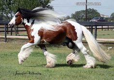 Gypsy Vanner Horses for Sale | Stallion | Bay and White | Dazzling Bobby