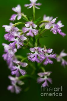 Title  Purple Fringed Orchid  Artist  Jeff Sinon  Medium  Photograph - Fine Art Photography