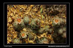 Escobaria emskoetteriana | por Sphenodiscus