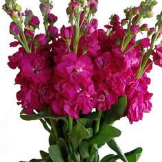 inexpensive and great for arches, bud vases, etc. Hot Pink Flowers, Love Flowers, Wild Flowers, Wedding Flowers, Hot Pink Weddings, Stock Flower, Flower Girl Crown, Pink Garden, Types Of Flowers