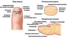 анатомия фото