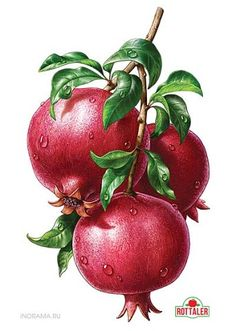 Pomegranate, the patient man's fruit. Fruit by Inorama Illustrators Watercolor Fruit, Fruit Painting, Fruit Illustration, Food Illustrations, Botanical Drawings, Botanical Prints, Fruits Drawing, Illustration Botanique, Color Pencil Art