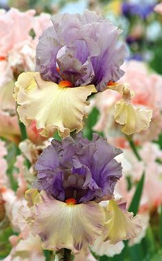 Schreiner's Iris Gardens grows high quality bearded and beardless iris rhizomes for your landscape design. Excellent customer service answers your iris growing questions. We ship iris worldwide at the right time for planting. Iris Flowers, Types Of Flowers, Large Flowers, Planting Flowers, Beautiful Flowers, Flowers Garden, Exotic Flowers, Purple Flowers, Barba Iris