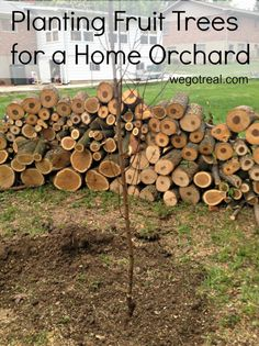 How to plant fruit trees for a home orchard.