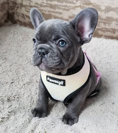 Sweet baby Marla 💙 I found out yesterday that someone on craigslist was using this picture to try and scam people. French Bulldog Blue, French Bulldog Puppies, French Bulldogs, Cute Puppies And Kittens, Cute Dogs, Munchkin Cat Scottish Fold, Baby Animals, Cute Animals, Cute Dog Photos