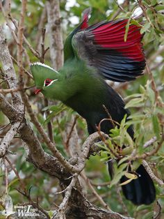 """Knysna Turaco. Turaco Birds make up the bird family Musophagidae (literally """"banana-eaters""""), which includes plantain-eaters and go-away-birds. In southern Africa both turacos and go-away-birds are commonly known as louries. Musophagids often have prominent crests and long tails; the turacos are noted for peculiar and unique pigments giving them their bright green and red feathers."""