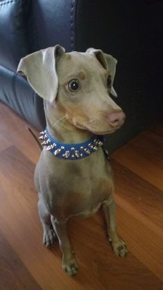 This is an Isabella Pearl Tan (Fawn) colored Min Pin, the Dilution color of the Chocolate & Rust Miniature Pinscher.