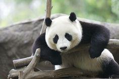 Hey panda! Watchu lookin' at?  loveyourchaos:    (by Rita Petita)